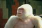 albino gorilla originally found in Equatorial Guinea