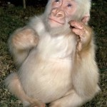 Snowflake was the only albino western lowland gorilla known to man.